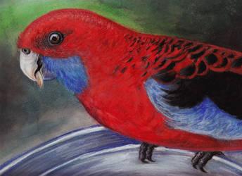 Parrot rozela