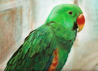 Parrot eclectus