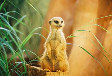 Meerkat 1 by burpingcat