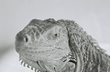 Lantz the Iguana 2 by burpingcat