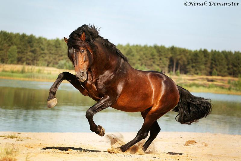 Weer Stoere Paarden Voor De Lens Lommelse Sahara Bokt Nl