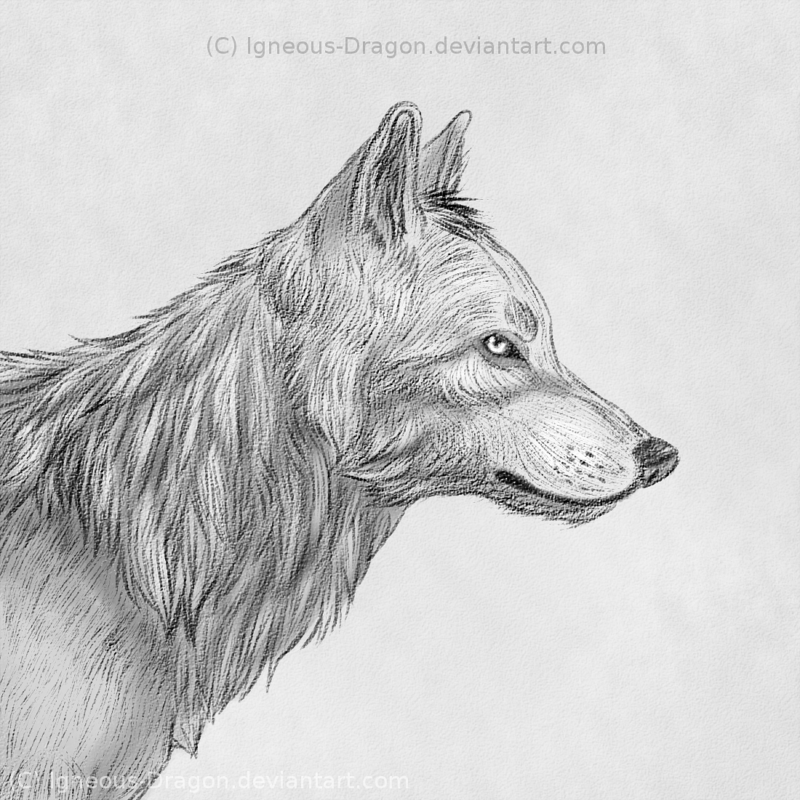 Wolf side view drawing - photo#24