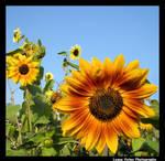 More Sunflowers