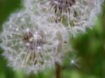 Yet Another Dandelion by BelaBoosMim