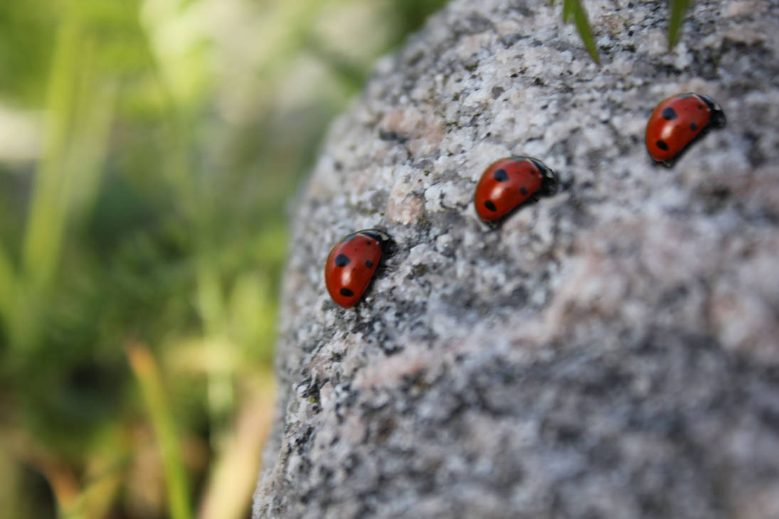 Some lovely ladybirds by Wilunas