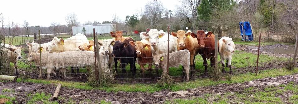 Breeding Cattle WITH MAD SCIENCE by GeneralMechanics
