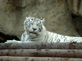 White tiger by AlphaPrimeDX