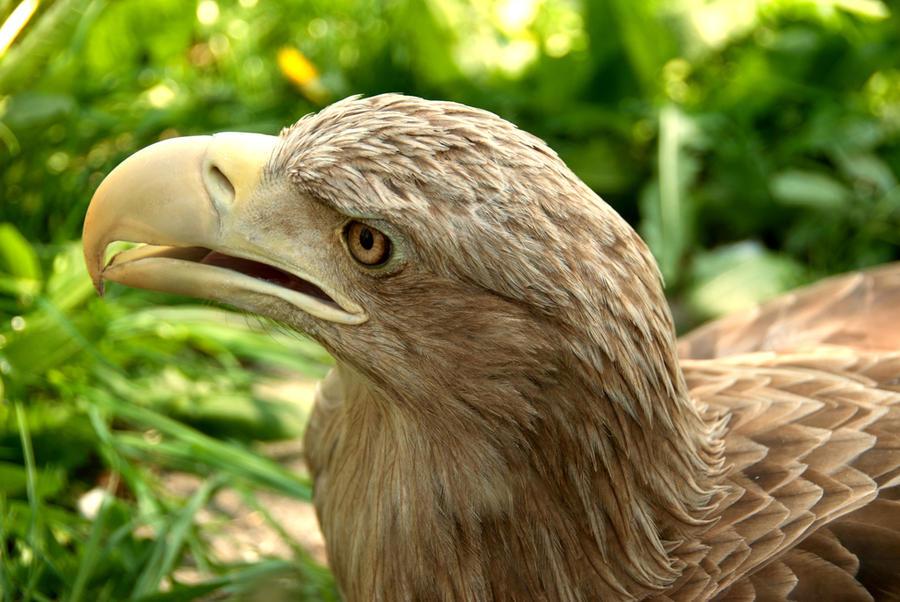 Eagle by KarolinaJakubowska