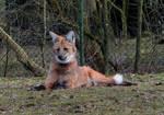 Maned wolf 8