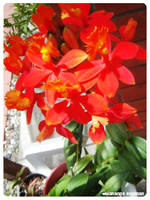 Orange Orchids by blushing