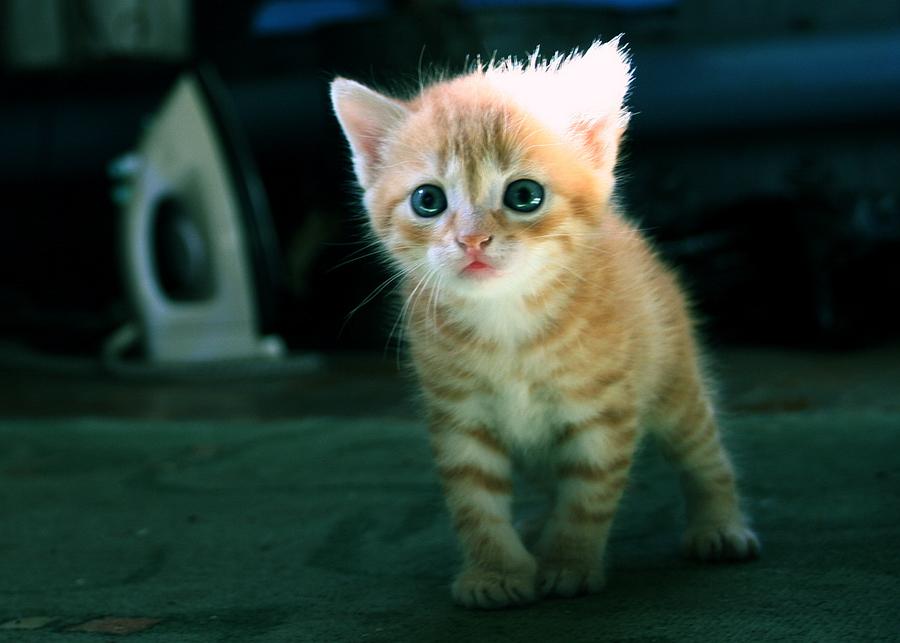 Cute Kitten 02 by gamebalance
