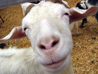 Smiling Goat by serpentesse