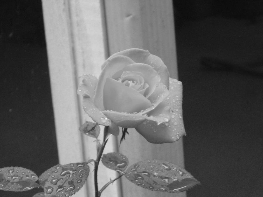 Beauty does exist by acid black cherry on deviantart for Do black roses really exist