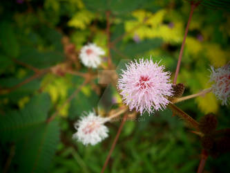 mimosa pudica (touch-me-not)