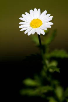 Oxeye daisy by brokenbokeh