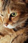 Cat Fancier III