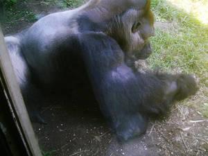 At the zoo:  Gorilla