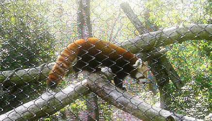 At the zoo:  Red Panda