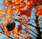 AutumnLeaves With Wasp Nest 0047 10-17-15