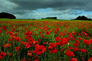 Poppy Fields of Dunfermline by SnapperRod
