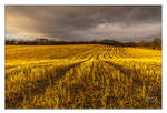 Field of Gold by SnapperRod