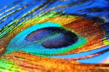 Peacock Feather by lindahabiba