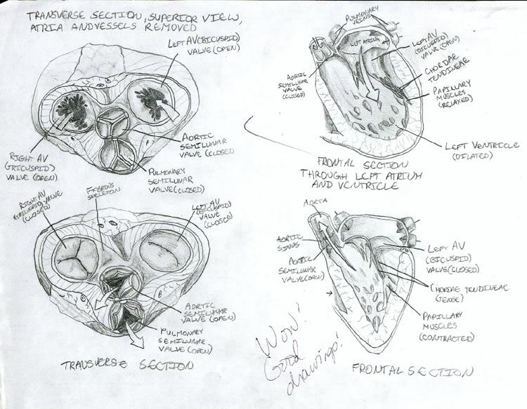 Heart diagram by soundscenario