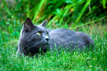 Grey Cat 06 by amarouq2