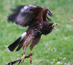Harris-Hawk II