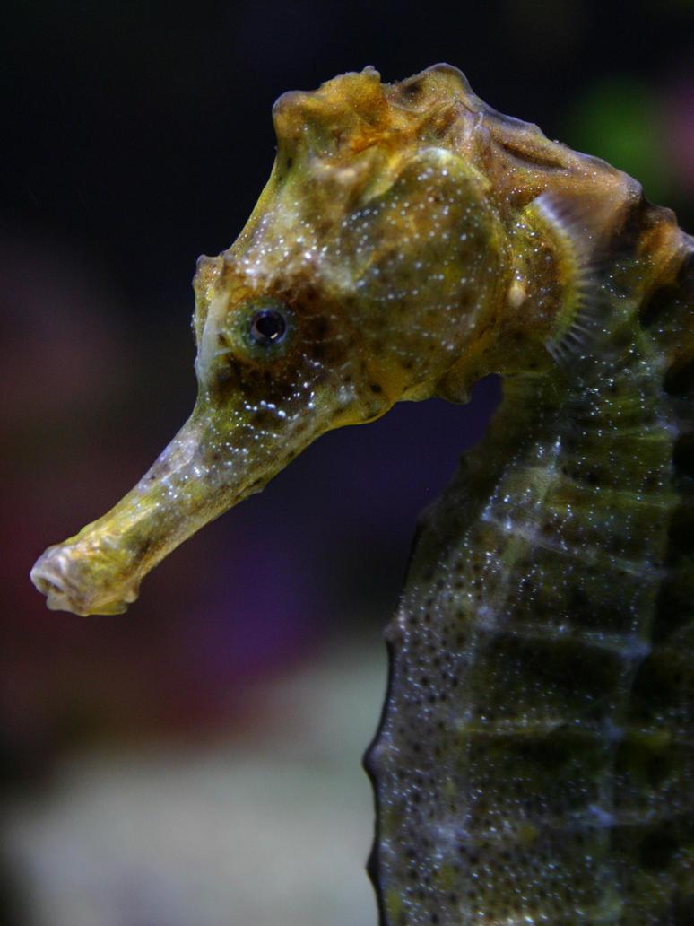 Seahorse I by Parides