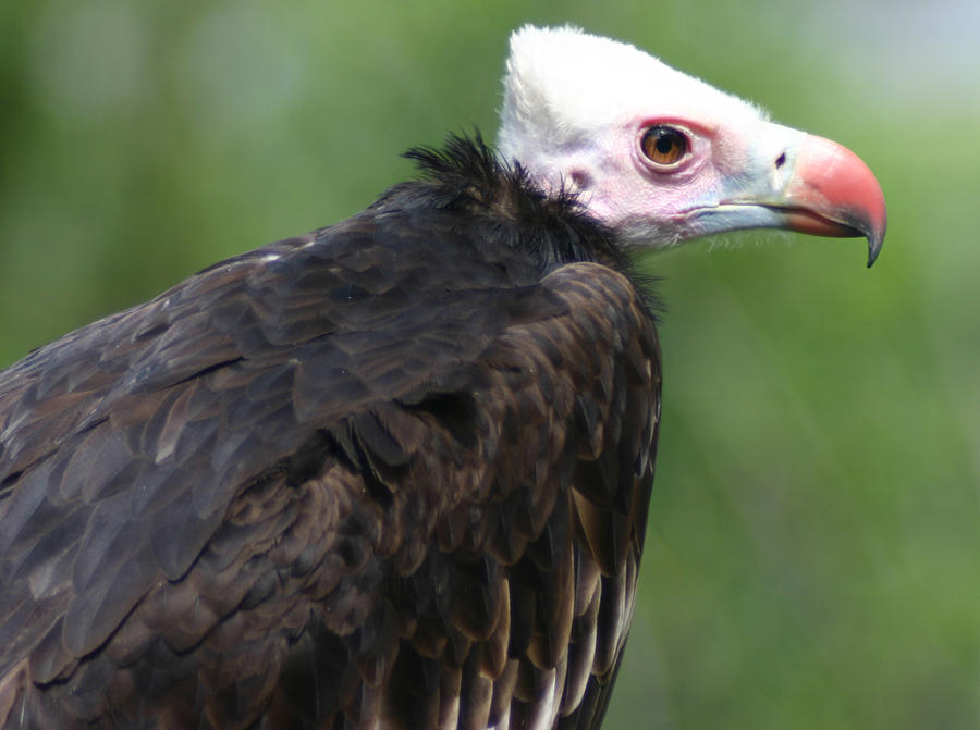White-headed Vulture by Parides