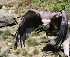 Griffon Vulture II by Parides