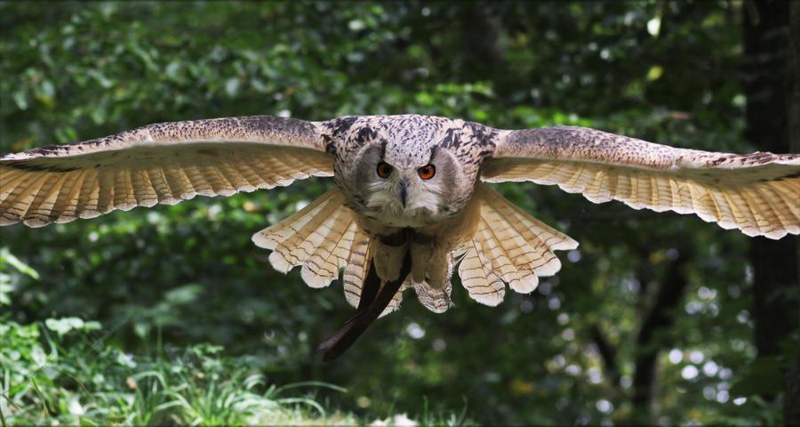 Eurasian Eagle Owl XI by Parides