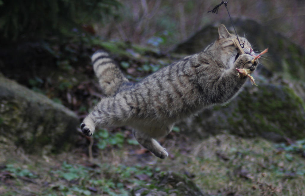 European Wildcat by Parides