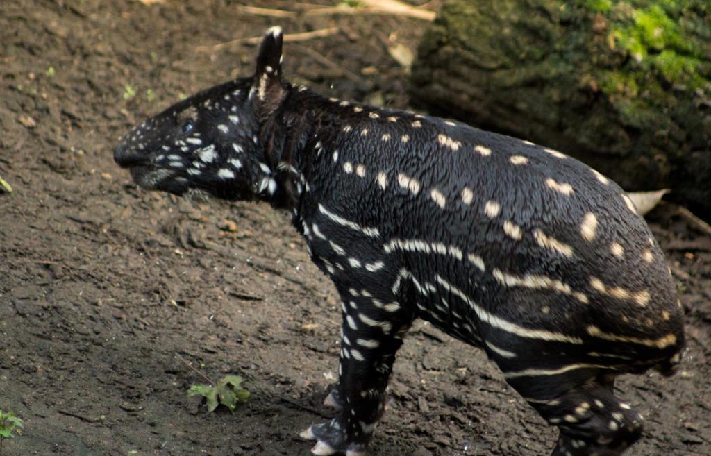 Malayan tapir by Parides