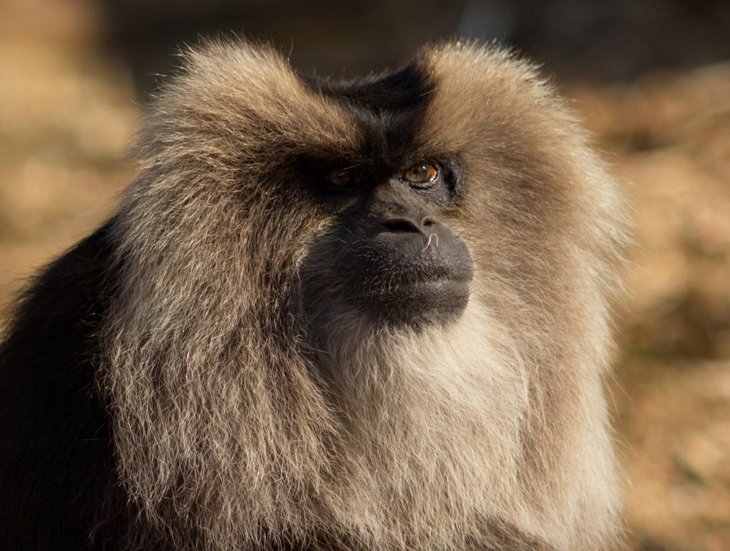 Lion-tailed macaque by Parides