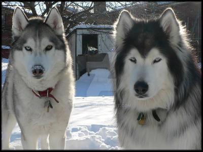 Huskies by Timitu