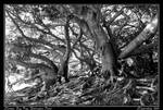 Moreton Bay Figs by misteriddles