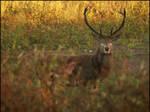 Minnippi Deer