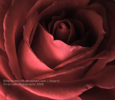 Rose II by purplekyloe