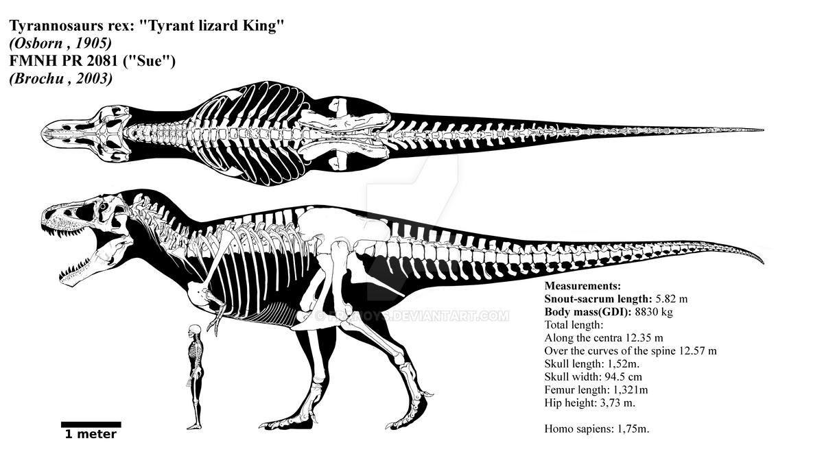 https://pre00.deviantart.net/467e/th/pre/i/2018/147/1/f/tyrannosaurus_rex_skeletal_diagram__fmnh_pr_2081__by_franoys-dalfsho.png