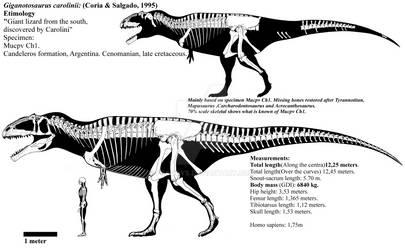 Giganotosaurus carolinii skeletal diagram. by Franoys