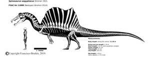 Spinosaurus aegyptiacus skeletal (FSAC kk 11888)