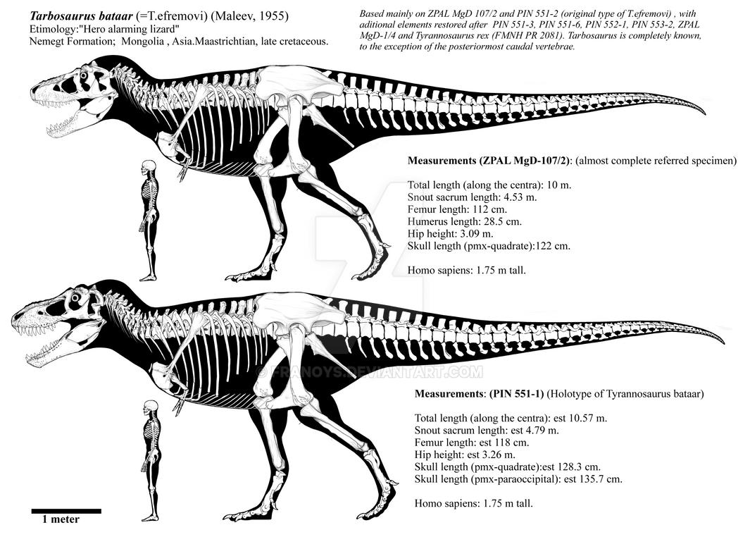 Tarbosaurus bataar adults skeletal diagrams by Franoys