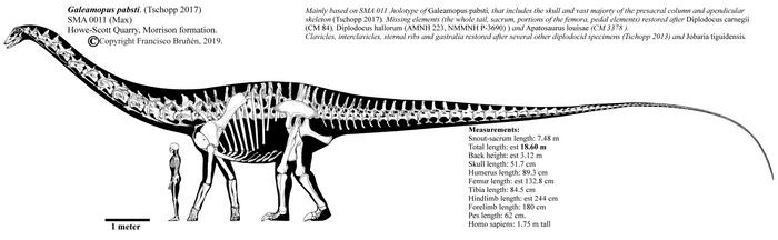 Galeamopus pabsti SMA 0011 skeletal restoration. by Franoys
