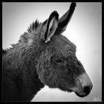 Snow Donkey