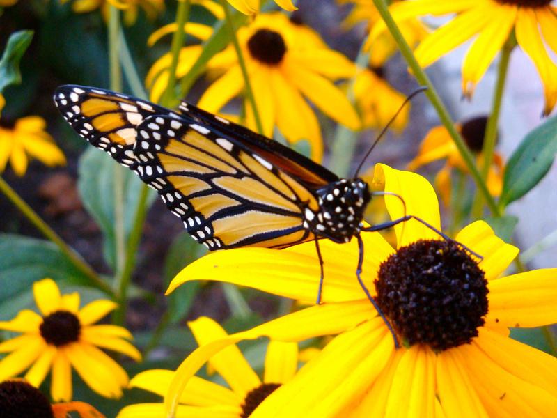 ~Monarch Butterfly~ by Cassandrina