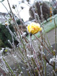 Frosted Rose 2