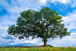 Grandfather Tree ~ Spring 1.0