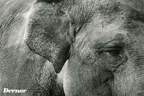 Elephant by dernor